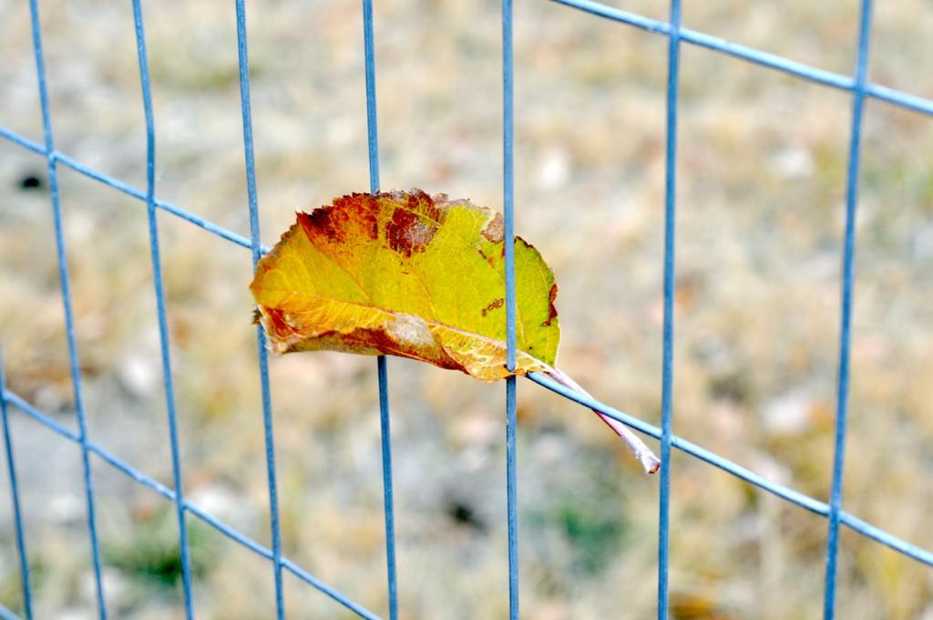 2015 Fall leaf