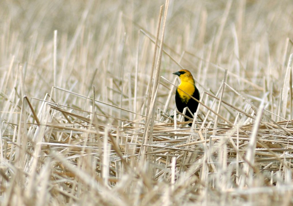 Bird of the moment: Yellow-headed blackbird