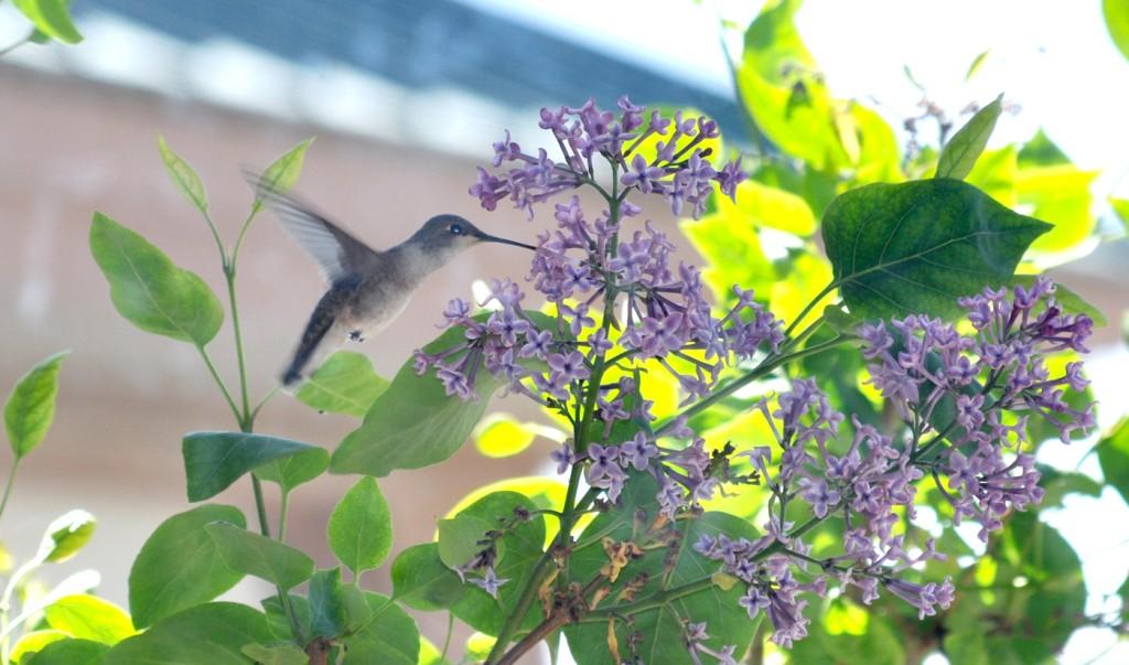 Birds humming