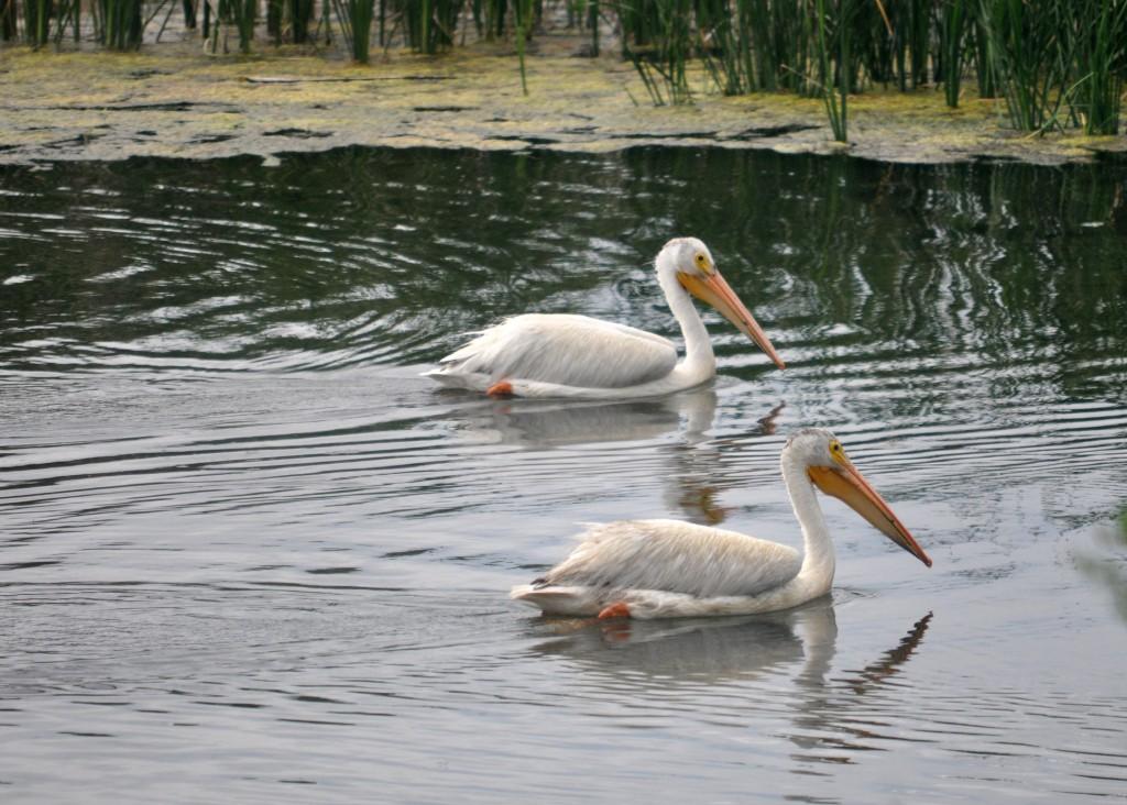 Birds pelicans
