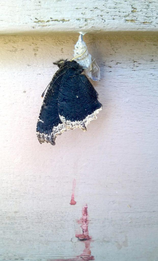 Caterpiller butterfly 02