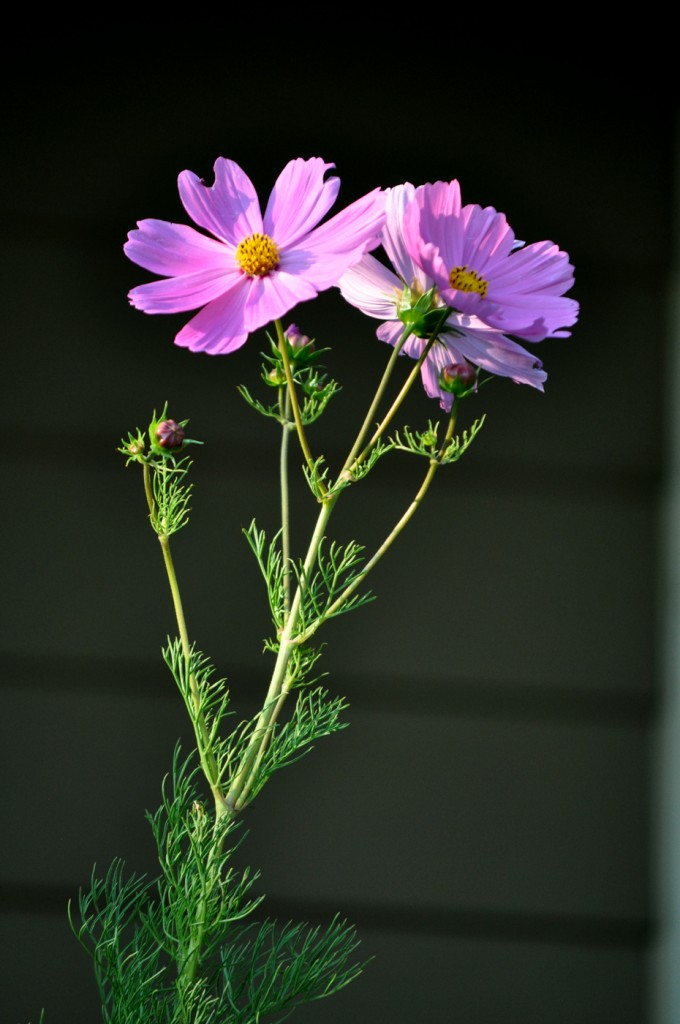 Cosmos in bloom ... finally!