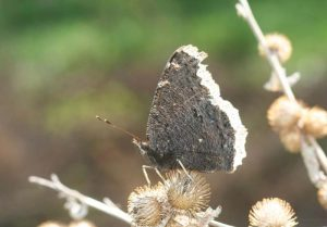 mourningcloak 2 Whitney Cranshaw Colorado State University